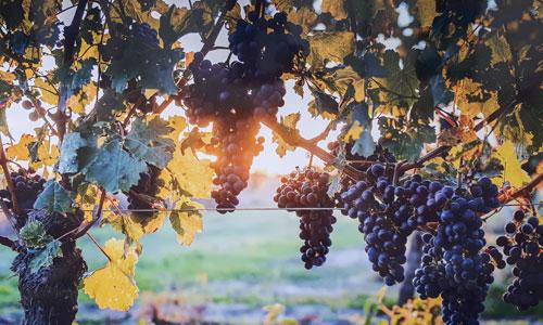 Vin tourangeau